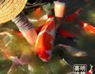2018年喜明观赏鱼金鱼锦鲤红鲫鱼水花苗种批发供应中