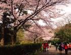 四月的济州岛樱花开遍岛屿微风吹来化作一片樱花雨的海洋