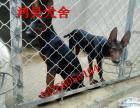 现在纯种苏联红幼犬多少钱一只 苏联红犬价格