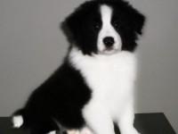 广州出售纯种金色边境牧羊犬幼犬活体宠物边牧黄金色聪明边牧狗狗