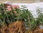 铁皮石斛种苗,成品回收