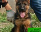 专业繁殖基地出售纯种赛级犬德国牧羊犬