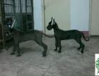 哪里有卖大丹犬的,大丹犬多少钱一只