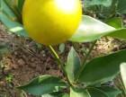 江西脆皮金桔苗品质好/哪里可买到赣州脆皮金桔苗脐橙苗