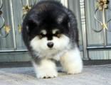 泉州哪里有卖阿拉斯加十字脸巨型阿拉斯加幼犬巨型阿拉斯加