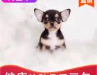本地出售纯种吉娃娃幼犬,十年信誉有保障