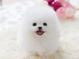 上海浦东大爆毛博美犬一般多少钱