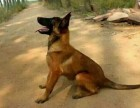 济南出售精品马犬,血统马犬幼犬2-4月,马犬价格