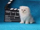 售后完善 质保无忧 出售纯种 金吉拉猫 可见父母 随时联系