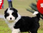 白金汉宫后代 七白到位的纯种边境幼犬出售