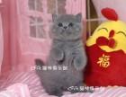 蓝猫出售大包子脸英短蓝猫只繁殖纯种健康猫咪
