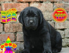 纯种拉布拉多幼犬 头版足骨量大 血统纯正
