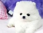 出售白色球型哈多利宝宝 茶杯犬 白色博美幼犬