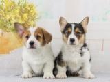 重庆出售 柯基犬,疫苗驱虫已做,可视频