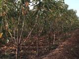 安徽德丰生态农业供应2年至8年樱桃苗
