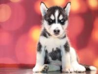 上门出售纯种哈士奇犬 品质保障 品种多多 价格便宜多窝挑选