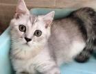 千之宠猫舍英短渐层小猫出售啦 每个都非常漂亮