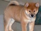 自家大狗生的一窝5只柴犬宝宝免费找人领养 上海本地的上门来