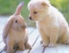宠物兔 垂耳兔