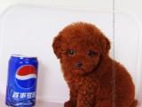 高品质泰迪幼犬出售 家庭必备萌宠 包纯种健康