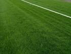 北京苗木種植出售園林綠化草坪高羊茅早熟禾大花月季黃楊丹麥草