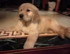 可爱金毛幼犬 保纯种 疫苗齐全 健康保障