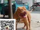 第一斗犬比特犬战神低价销售双血比特幼犬,选狗