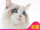 里有布偶猫卖布偶钱包健康送货上门