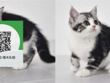 南阳哪里有虎斑猫出售 南阳虎斑猫价格 南阳宠物猫转让出售