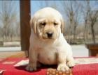 黄金血统拉布拉多最佳伴侣犬智商超高超可爱