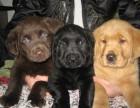 纯血统多只挑选 大头 品质高拉布拉多幼犬出售健康纯