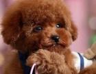 纯种泰迪 精品泰迪幼犬 保纯种健康 给宝宝们找新家
