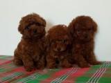 南京出售 泰迪幼犬 保证纯种健康签订活体协议包退换