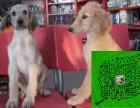 出售专业繁殖 阿富汗猎犬 ,包纯种签协议 可来基地