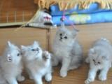 银渐层猫咪 大量 猫舍直销 价格合理 可自取 包养活