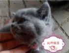 出售泰国暹逻猫,机智灵活,蓝眼睛暹罗猫 忠心机灵