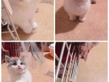 宣城出售自家繁殖纯种金吉拉幼猫 赛级品质 漂亮可爱