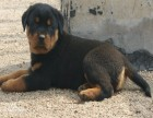 纯种罗威纳犬幼崽多少钱
