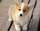 本地出售小短腿威尔士柯基幼犬 疫苗齐全