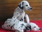 江门哪有斑点狗卖 江门斑点狗价格 江门斑点狗多少钱