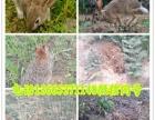 公羊兔 野兔思麻兔 比利时兔 德国巨兔 巨型花明兔 肉兔种兔