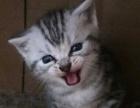 自养美短虎斑猫