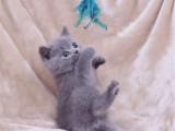 山西太原纯种蓝猫幼崽一般多少钱