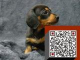 哪里有?优惠腊肠幼犬纯种保证 品相很好 低价出售
