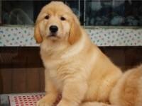 北京出售纯种金毛幼犬活体大型巡回猎犬宠物狗狗活体幼崽北