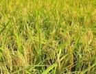 农家自酿白酒,纯稻谷酿制,度数高可泡药材