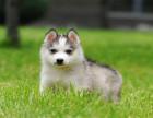 纯种三把火双蓝眼哈士奇幼犬 疫苗齐全保纯种健康