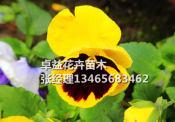 哪里能买到口碑好的角堇,贵州角堇