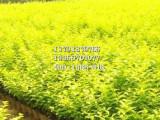 青州草花-想要品种好的月季就来天卓花卉苗木
