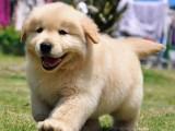 潮州宠物狗 优良血统 纯种拉布拉多犬 健康 活泼 已疫苗驱虫